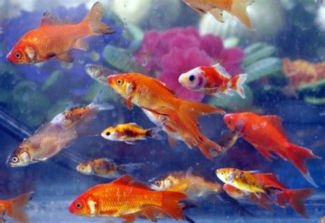 mon petit poisson est mort 15 09 2011 ladepeche fr