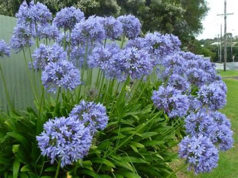 agapanthus a flowering boundary hedge plant garden hedge