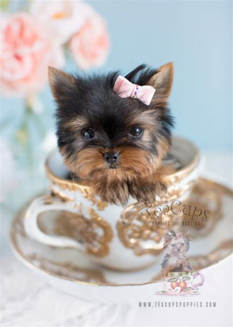 tracup yorkie teacup puppies for sale teacups puppies boutique