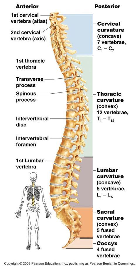 lumbar 4 and 5 diagram vertebrae vertebrae 5 lumbar vertebrae 1 sacrum 5