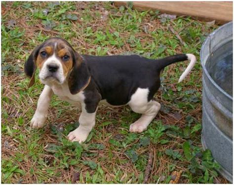 Coonhound Shedding by Treeing Walker Coonhound Facts Pictures Puppies