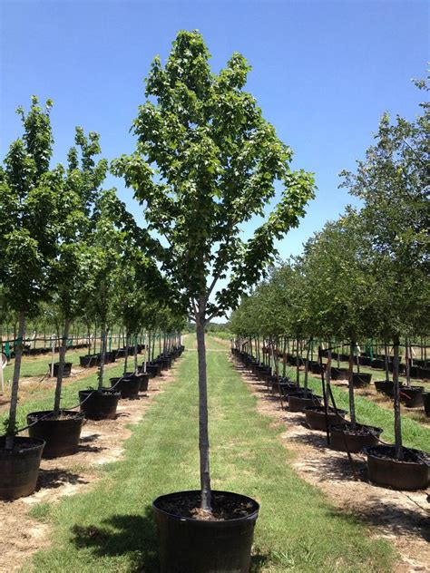 30 gallon maple tree flory tree farm plantant