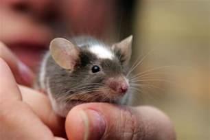 pet mice and kids do pet mice make good pets