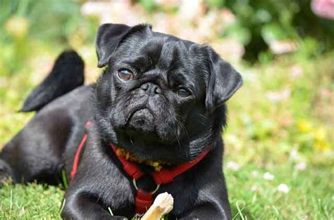 how much are pug black pugs is the less popular black that much different to the fawn
