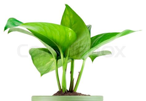 decorative indoor plants sprout of favourite indoor green decorative plant