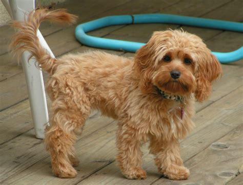 pug puppies richmond va breed puppies pets world