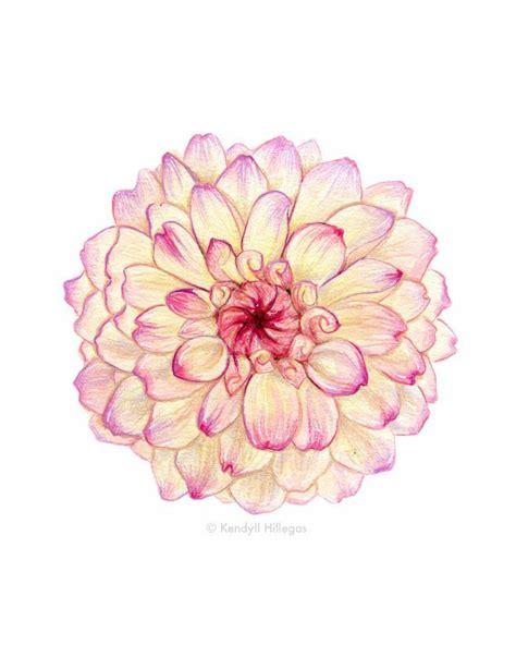 pink carnation botanical illustration floral pink