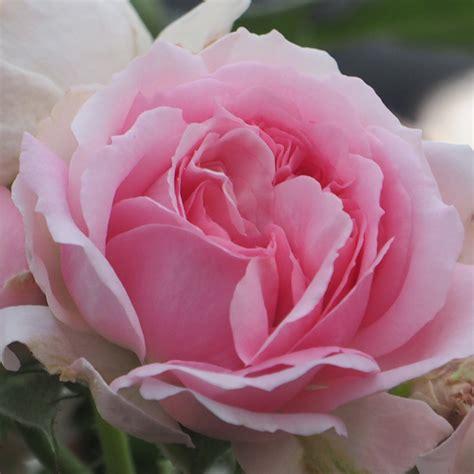 h 248 jg 229 rd planteskole nursery produkter roser larissa flower circus