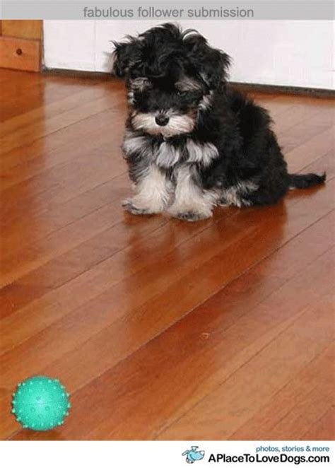 baby havanese baby havanese stalking the cuteness adorable precious and awwww