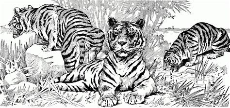 advanced tiger coloring pages surprising realistic animal coloring pages for adults