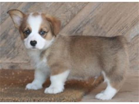 corgi puppies for sale oklahoma pembroke corgi puppies in oklahoma