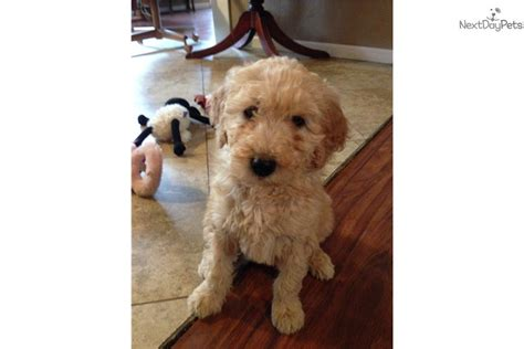 trained doodle puppies for sale meet teddy a goldendoodle puppy for sale for