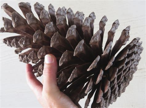 best 28 where can i buy pine cones pine cones large