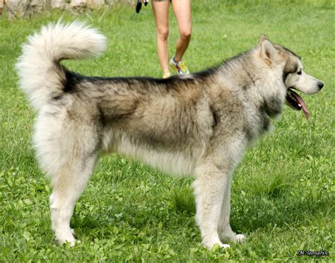 alaskan breeds silver alaskan malamute www pixshark images galleries with a bite