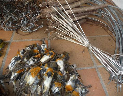 robins trap italy shocking bird slaughter pictures