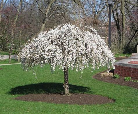 25 best ideas about weeping trees on pinterest small trees ohio trees and landscaping trees