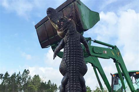 in florida shoots cattle alligator