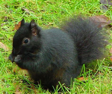 Scavenger Hunt Page 78 Black Squirrel