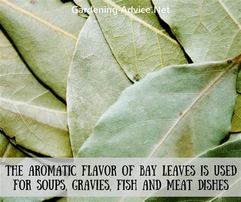 Flower Garden Plants The Bay Leaf Plant How To Grow A Bay Leaf Tree As A Culinary Herb