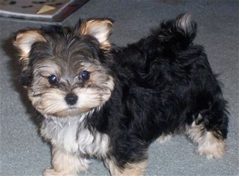 kennel a yorkie yorktese breed information and pictures