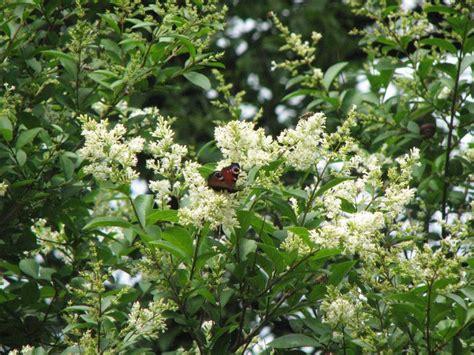 wann liguster pflanzen liguster ligustrum vulgare