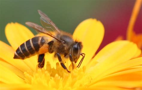ong and ong giải m 227 253 nghĩa của giấc mơ thấy con ong phong thủy cho người việt xem phong thủy tư vấn