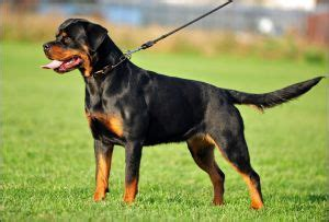 rottweiler breeders in va 17 best images about rottweiler breeders on virginia alabama and washington