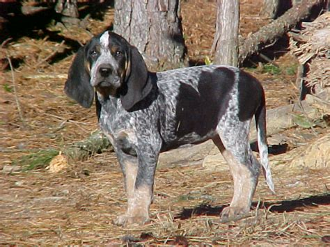 blue tick hound puppy bluetick coonhound puppies at bluetick 1 kennels blueticks bluetick1kennels