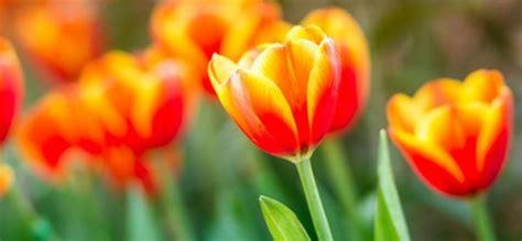 Piantare I Tulipani In Vaso by Tulipani Come Coltivarli Manutenzione E Cura Verde