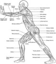 anatomy and physiology coloring workbook chapter 7 essentials of human anatomy physiology human anatomy