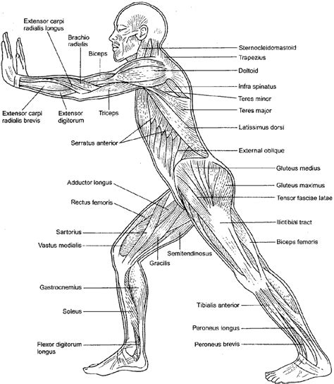 free coloring pages of muscle anatomy