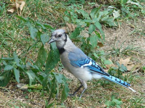 blue jay bird flying 2017 2018 best car reviews
