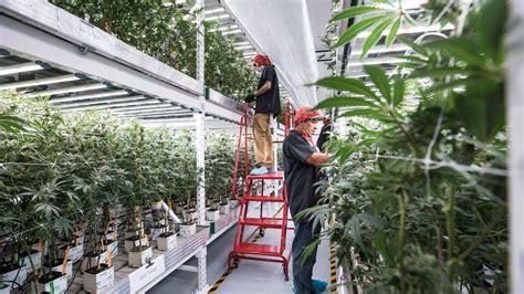 fluence bioengineering illuminates medmen cannabis
