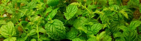mint pests identification  removal dengarden