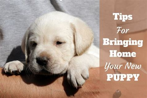 bringing a puppy home to another best 10 getting a puppy ideas on a puppy tips and