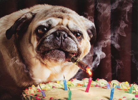 pug singing happy birthday image gallery happy birthday pug