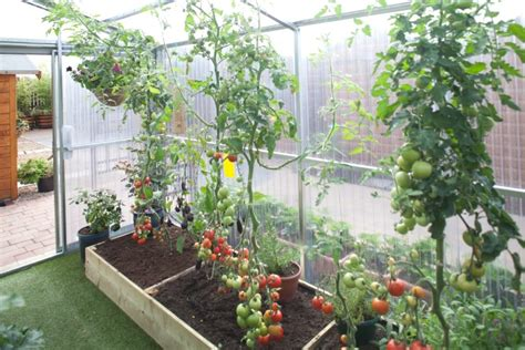 growing   tomatoes   steeltech greenhouse