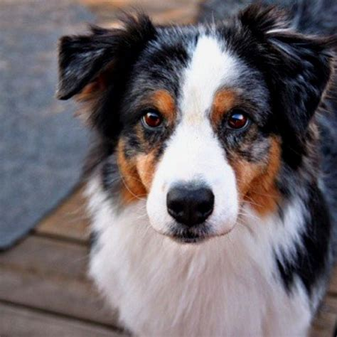 Do Australian Sheep Dogs Shed by De 20 B 228 Sta Id 233 Erna Om Australian Shepherd Hundar P 229