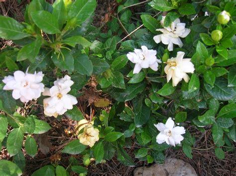 recregarden gardenia jasminoides