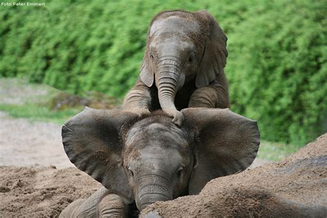 le elefant ein afrikanischer elefanten mit jungtier in der d 228 mmerung