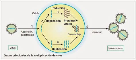 cadena de adn positiva y negativa virus estructura clasificaci 243 n y replicaci 243 n