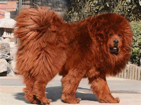 african lion dog breedpet  gallery general pet  gallerynwpdyekm
