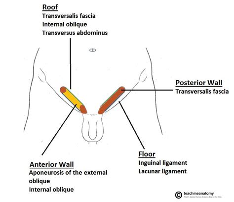 inguinal hernia diagram the gallery for gt inguinal anatomy