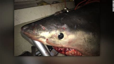 great white shark jumps in boat great white shark leaps into fisherman s boat cnn