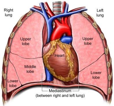 chest cavity diagram pulmonary ligament
