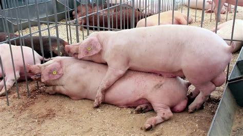 Farm pig sex