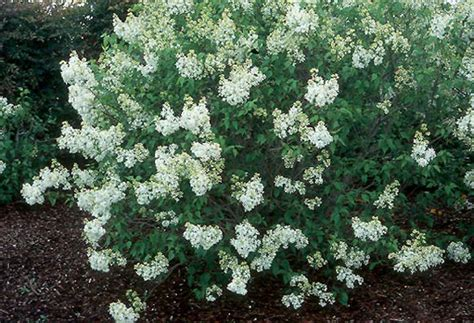 white lilac shrub pictures to pin on pinterest pinsdaddy