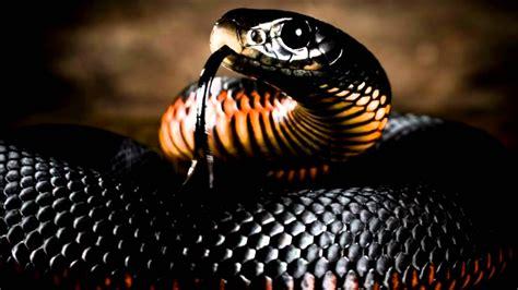 piu al mondo i 10 serpenti pi 249 velenosi al mondo