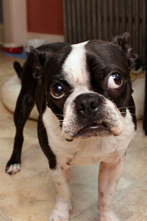 dogs ears stink 17 best images about frenchie kisses on bulldog and