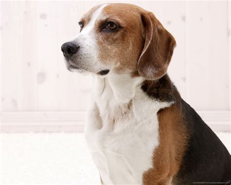 foxhound puppies american foxhound breed guide learn about the american foxhound